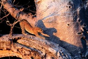 Leopard in baobab, Pafuri