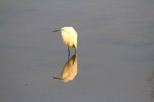 Little Egret, Nyamithi Pan