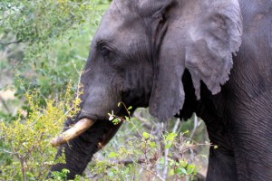 Tembe elephant with frayed ears from living in dense thickets
