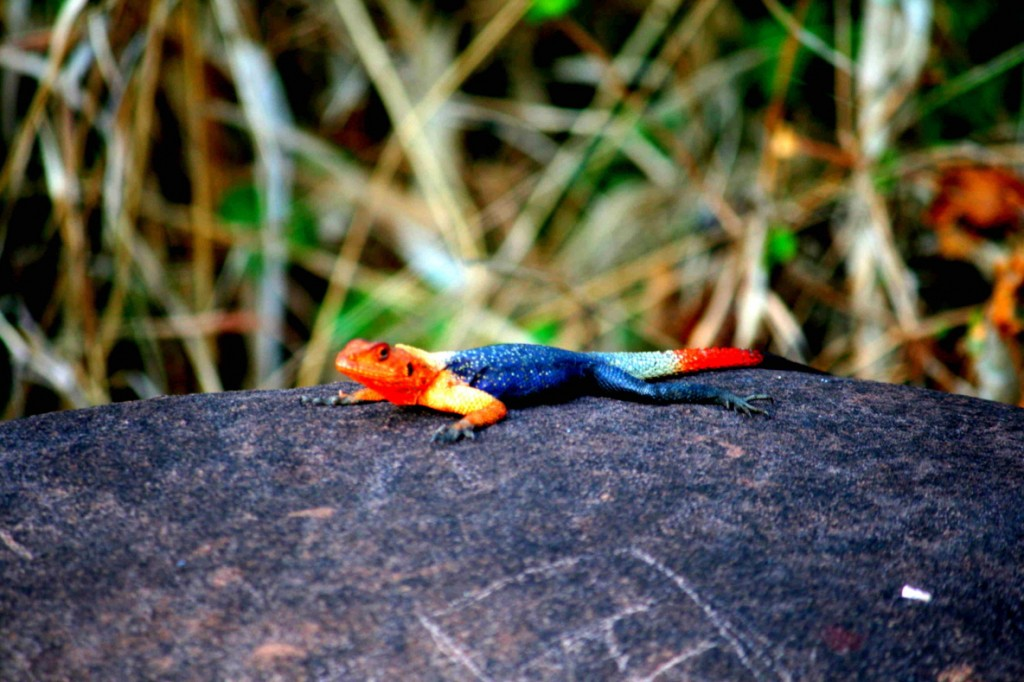 Rock lizard at Kalandula Waterfall
