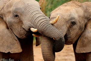 Heffalumps, Addo Elephant National Park