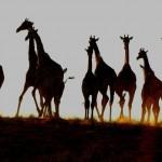 Giraffes near Mata Mata