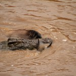 Croc with prey
