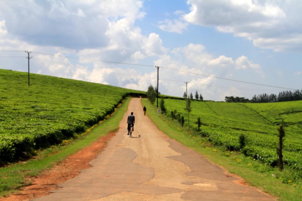 Uganda tea plantations