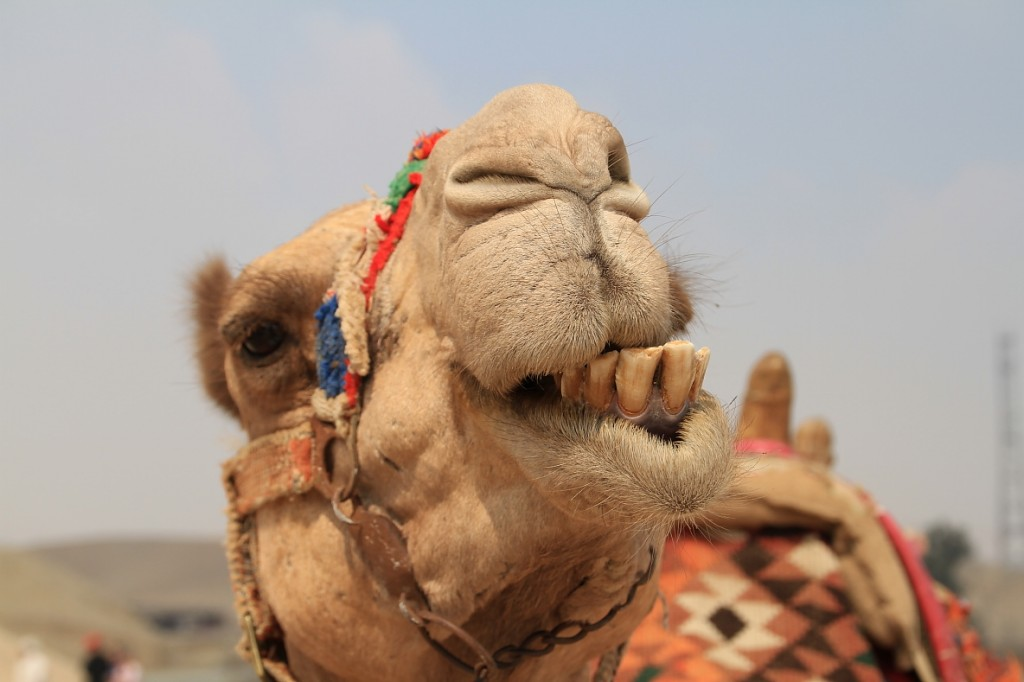 Cool camel