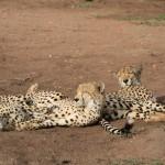 Cheetahs1
