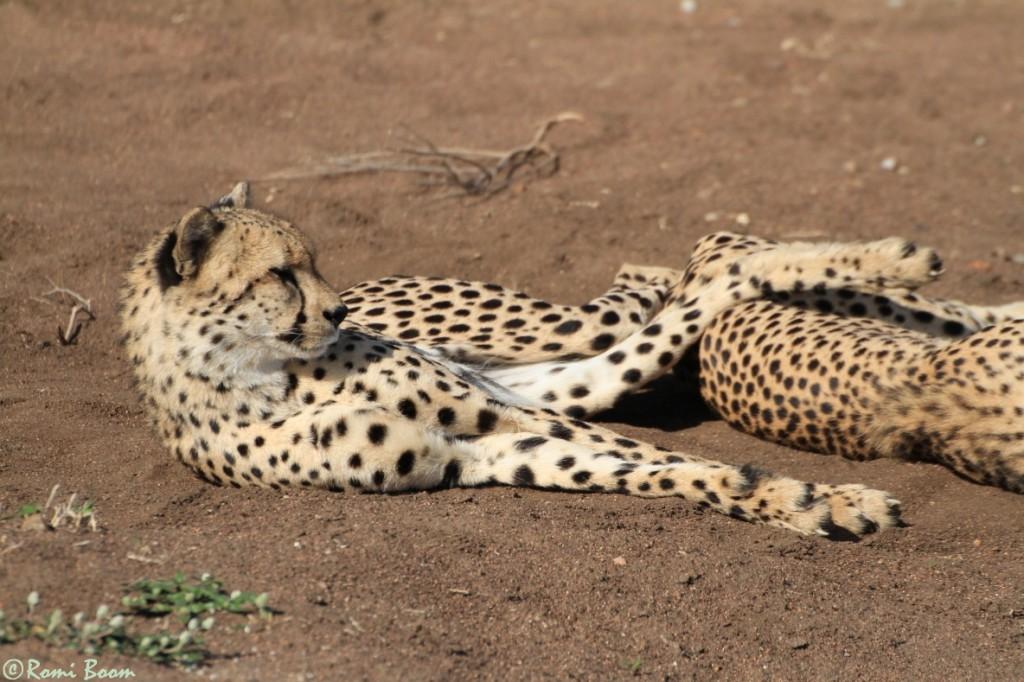 Cheetahs17