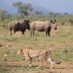 Cheetahs21
