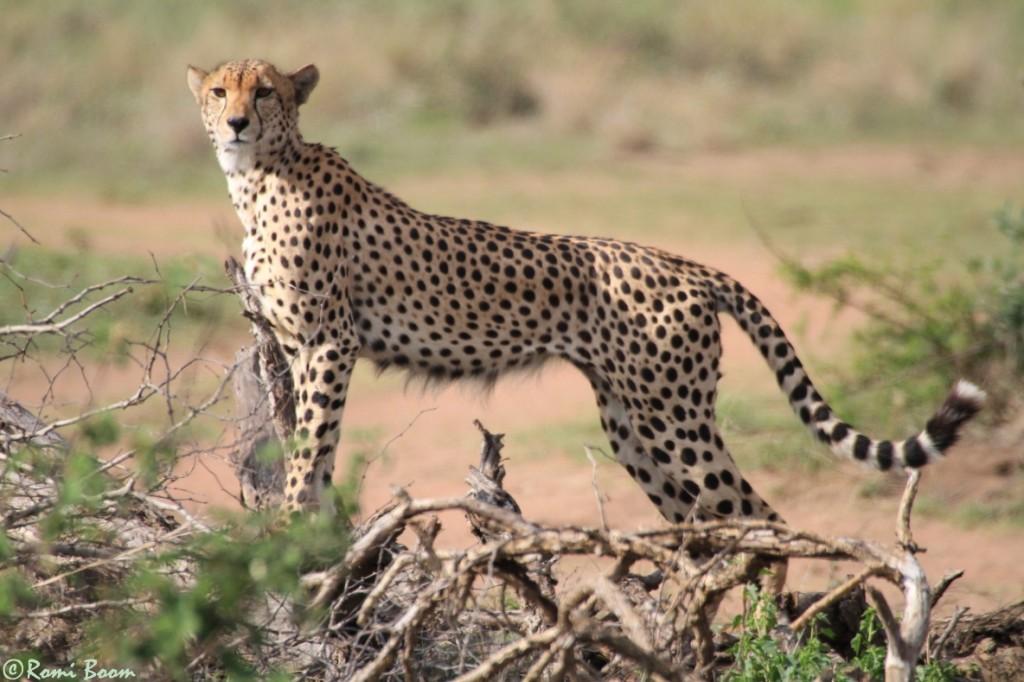 Cheetahs23