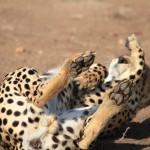 Cheetahs6
