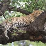 Leopard Nulu2