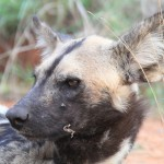 Wild dogs21