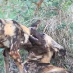 Wild dogs23