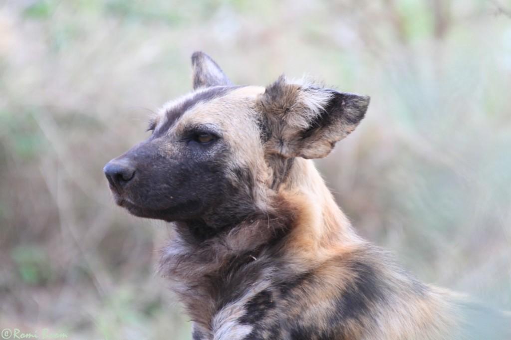 Wild dogs3