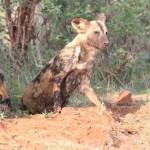 Wild dogs6