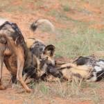 Wild dogs9