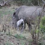 Baby rhino-0001