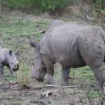 Baby rhino-0011