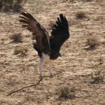 Martial Eagle-0001